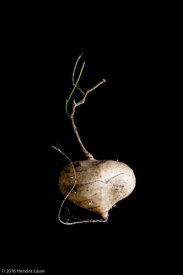 Still life photography by Hendra Lauw - a turnip #1